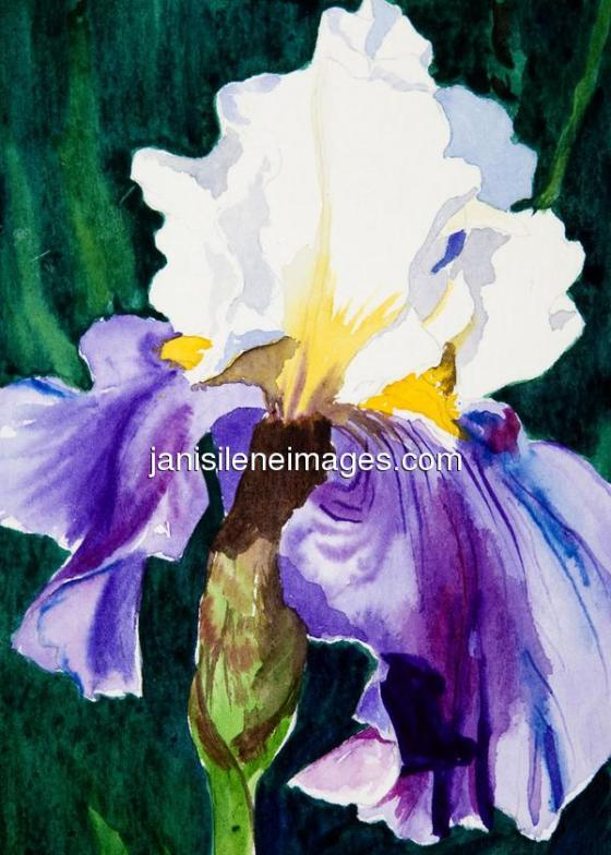 Double-color spring beauty, a purple and white iris!